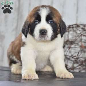 a Saint Bernard puppy named Benji