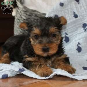 a Yorkshire Terrier puppy named Betty