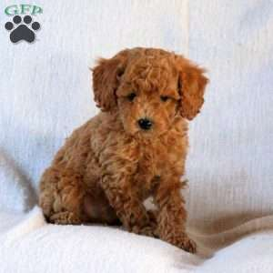 a Toy Poodle puppy named Bingo