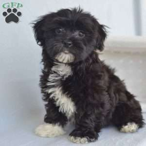 a Havanese puppy named Biscuit