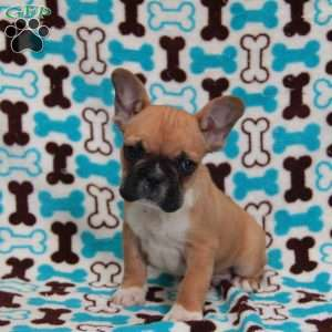 a French Bulldog puppy named Biscuit