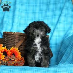 a Toy Poodle puppy named Black Bear