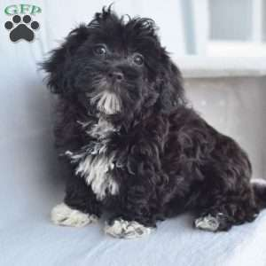 a Havanese puppy named Blossom