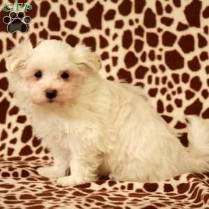 a Maltese puppy named Bouncer