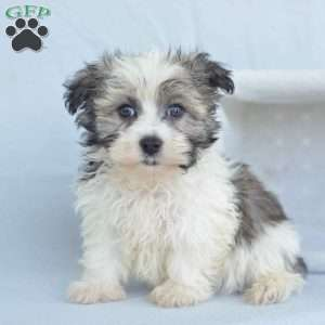 a Havanese puppy named Bruce