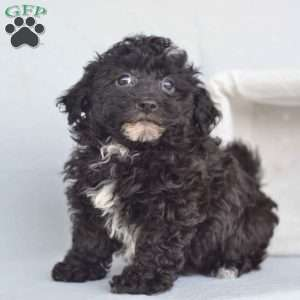 a Havanese puppy named Buttons