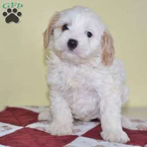 a Cavachon puppy named Cale