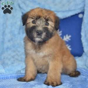 a Soft Coated Wheaten Terrier puppy named Cale