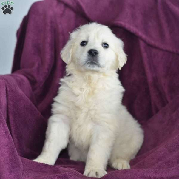 Cameron, English Cream Golden Retriever Puppy