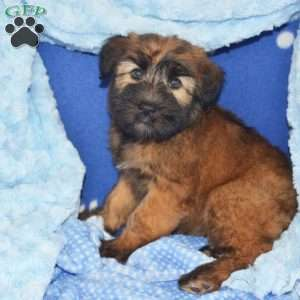 a Soft Coated Wheaten Terrier puppy named Carla