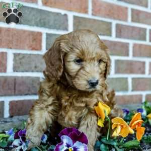 a Mini Goldendoodle puppy named Carson
