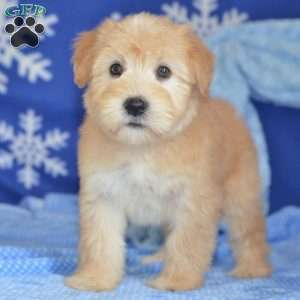 a Soft Coated Wheaten Terrier puppy named Cathy