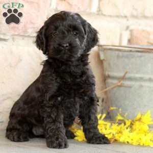 a Cockapoo puppy named Cathy