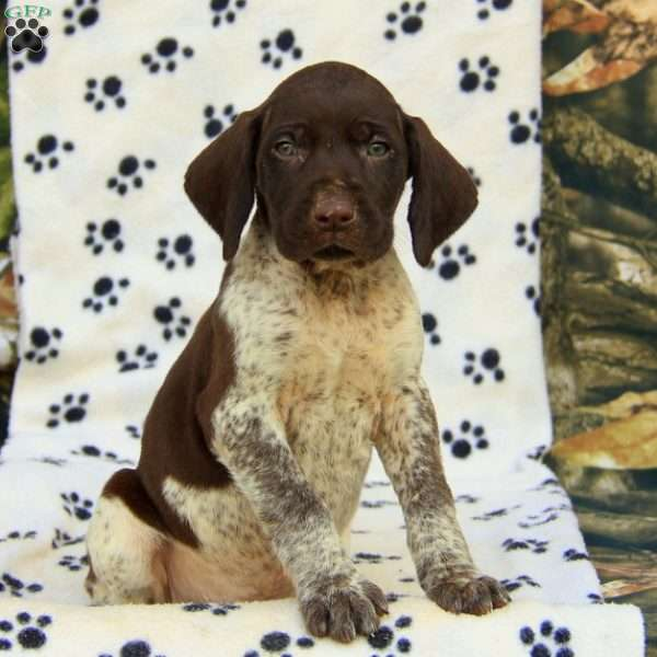 Champ, German Shorthaired Pointer Puppy