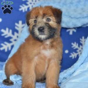 a Soft Coated Wheaten Terrier puppy named Cooper