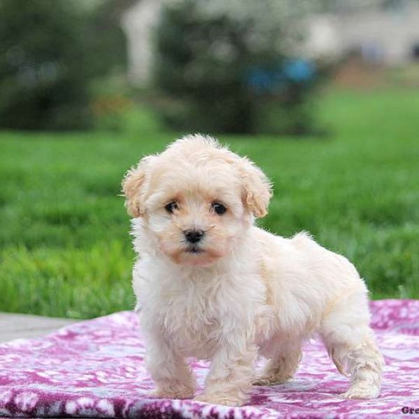 Coton De Tulear Mix Puppies For Sale Greenfield Puppies