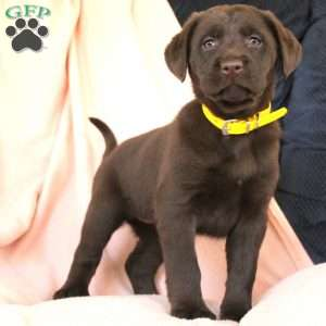 a Labrador Mix puppy named Daffodil