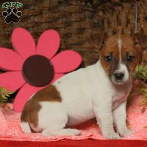 a Jack Russell Terrier puppy named Daffy