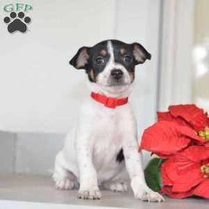 a Toy Fox Terrier puppy named Daisy