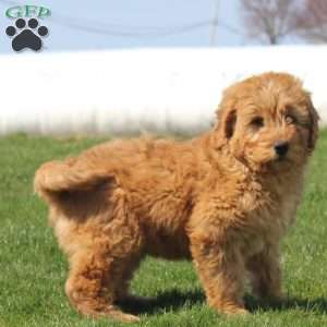 a Mini Goldendoodle puppy named Dax