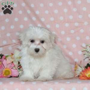 a Maltese puppy named Dixie