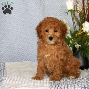 a Miniature Poodle puppy named Fancy