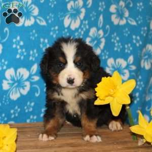 a Bernese Mountain Dog puppy named Flossy