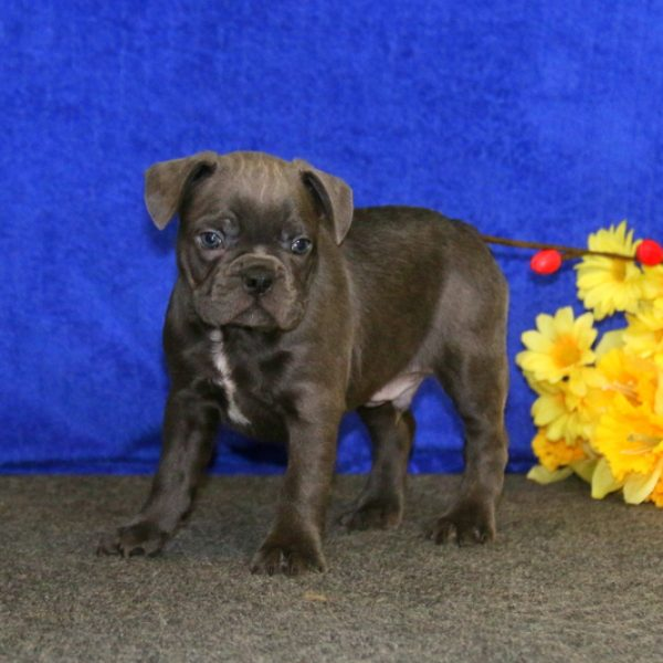Frenchton Puppies For Sale Frenchton Breed Info Greenfield Puppies