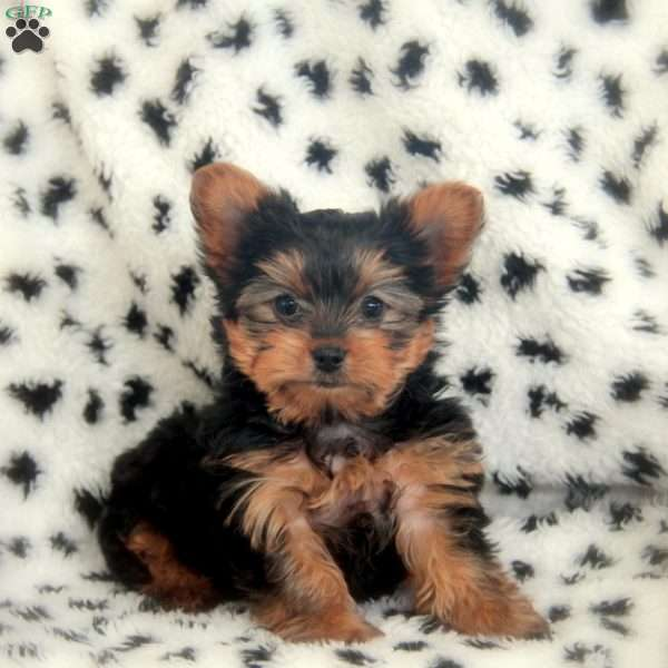 Fritzy, Yorkshire Terrier Puppy