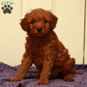 a Mini Goldendoodle puppy named Griffin