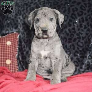 a Great Dane puppy named Gus