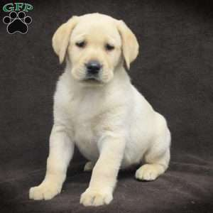 a Yellow Labrador Retriever puppy named Hannah