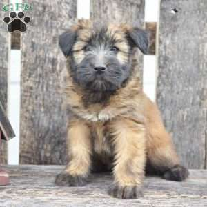 a Soft Coated Wheaten Terrier puppy named Hannah