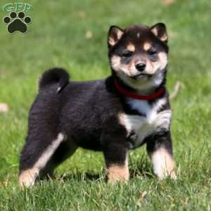 a Shiba Inu puppy named Haven