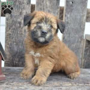 a Soft Coated Wheaten Terrier puppy named Hayden