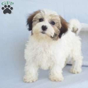 a Havanese puppy named Heidi