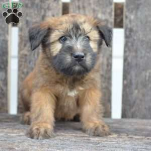 a Soft Coated Wheaten Terrier puppy named Henry