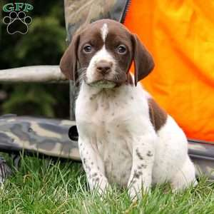 Ian, German Shorthaired Pointer Puppy