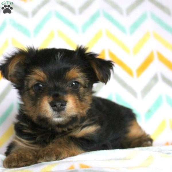 Illy, Yorkshire Terrier Puppy