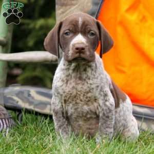 a German Shorthaired Pointer puppy named Irv