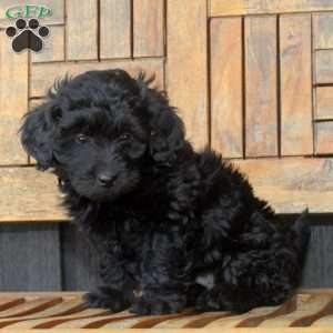 a Shih-Poo puppy named Jakey