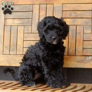 a Shih-Poo puppy named Jamie