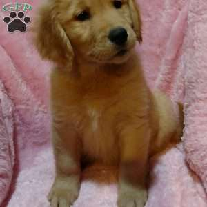 a Golden Labrador puppy named Jazzy