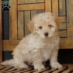 a Shih-Poo puppy named Jett