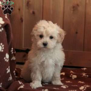 a Maltipoo puppy named July