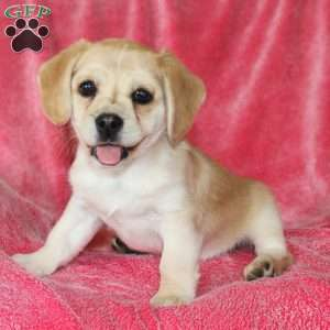 a Pug Mix puppy named Kasey