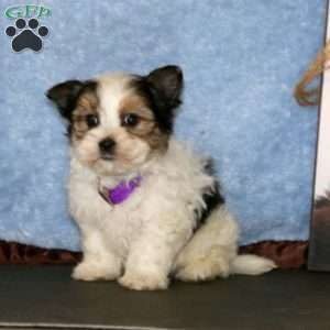 a Morkie / Yorktese puppy named Keith