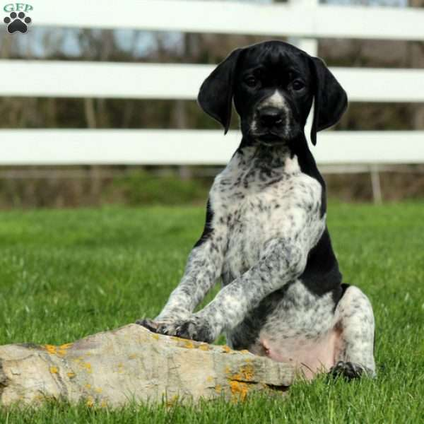 Kibble, German Shorthaired Pointer Puppy