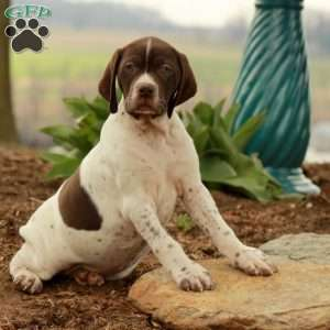 a German Shorthaired Pointer puppy named Kira