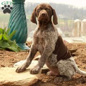 a German Shorthaired Pointer puppy named Klondike